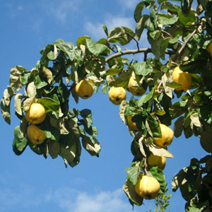 About the Quince Paste